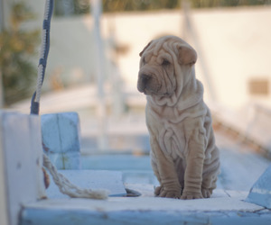 dogs, puppies, and shar-pei image