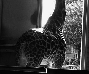 black and white, giraffe, and london image