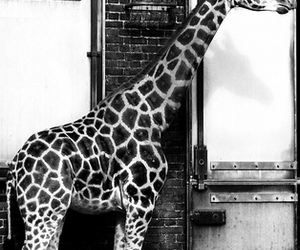 animal, black and white, and giraffe image