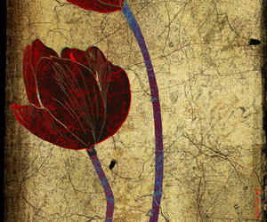flor, red, and tulip image