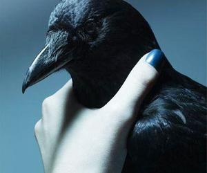 crow image