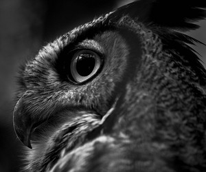 black and white, grand rapids, and great horned owl image
