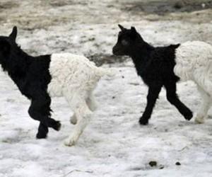 black, lamb, and oreo image