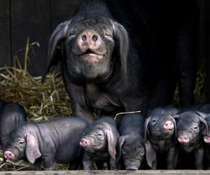cute animals and pigs image
