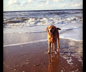 beach, dog, and golden image