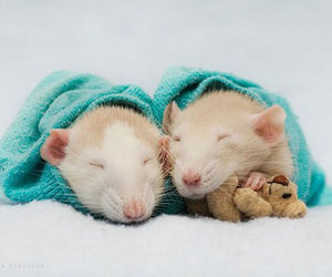 rat, mouse, and cute animals image