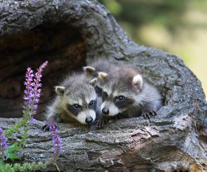 cute animals and racoons image