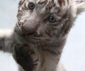 baby, tiger, and Dream image