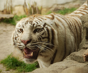 beautiful, photography, and tiger image