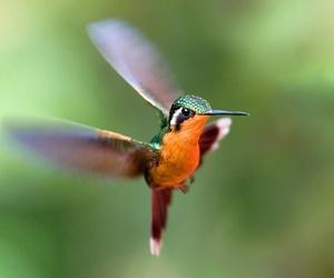 hummingbirds image