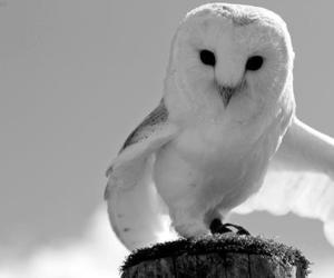 b&w, white, and owl image