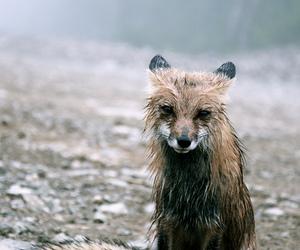 fox, animal, and rain image
