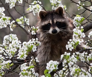 raccoon, animal, and flowers image
