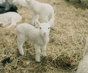 lamb, cute, and sheep image