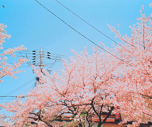 japan, cherry blossom, and pink image