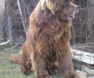 adorable, newfoundland dog, and amazing image