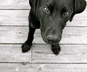 animal, black and white, and black lab image