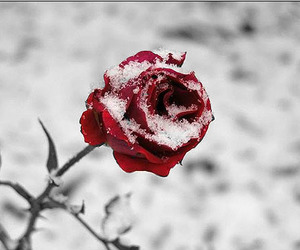 rose, snow, and winter image