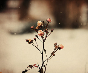 flowers, rose, and snow image