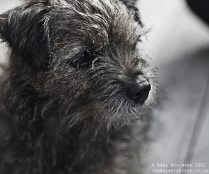 black and white, cuddle, and border terrier image