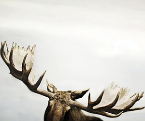 moose, nature, and animal image