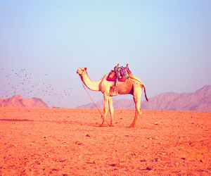 beautiful, camel, and photography image