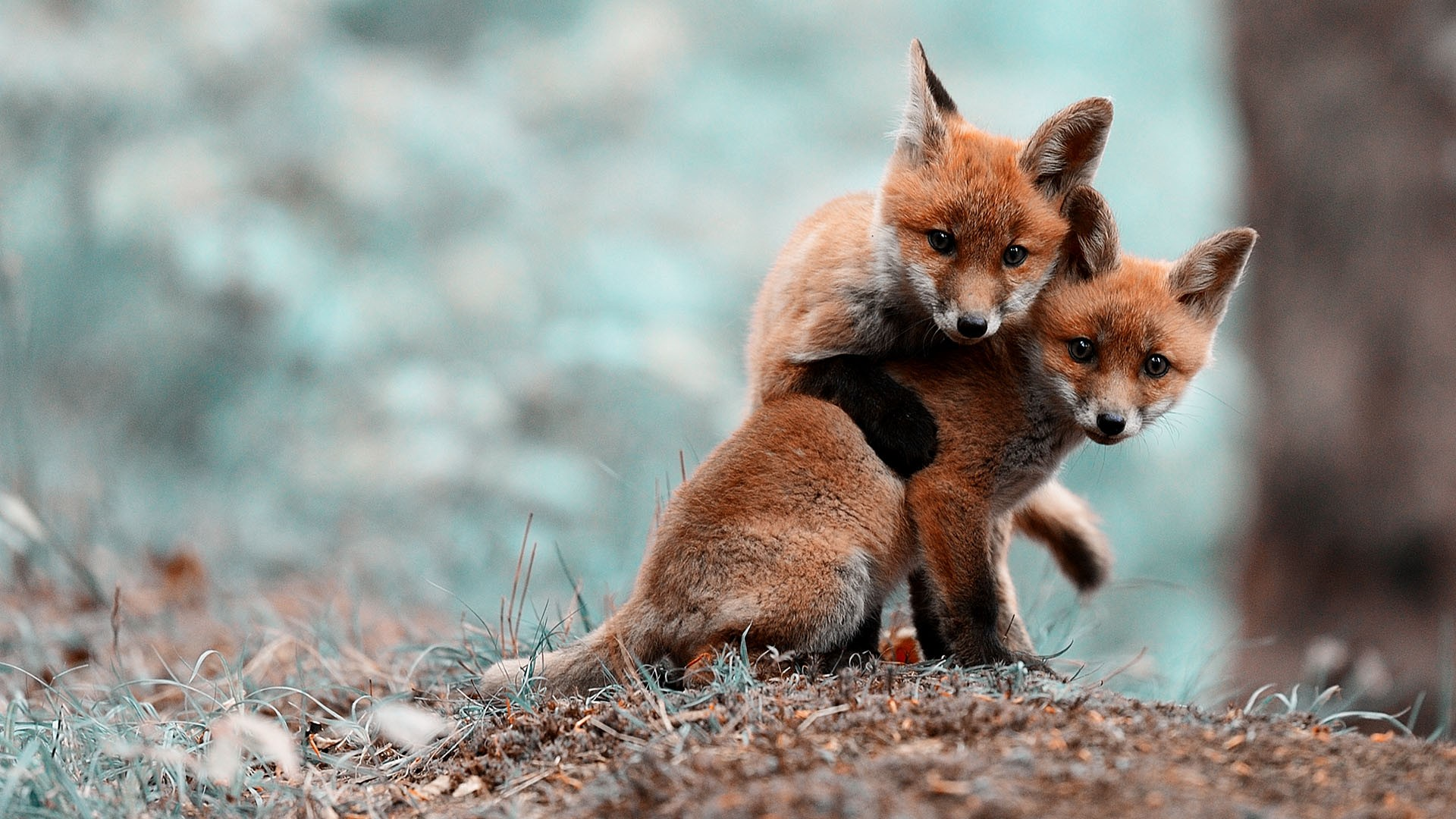 animals foxes wallpaper 2473668 wallbase cc