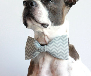 boston terrier and like a sir image