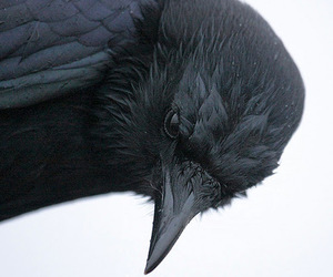 crow, bird, and black image