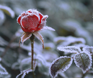 rose, winter, and red image