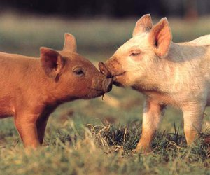 pig, love, and cute image