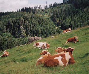 animals, cow, and cows image