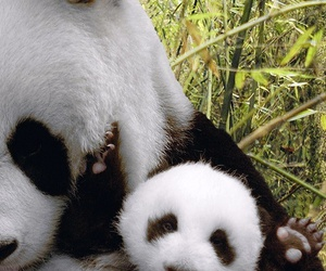 adorable, asian, and bamboo image