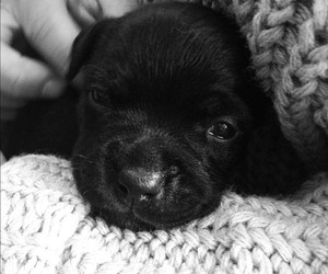 baby, black and white, and cute dog image