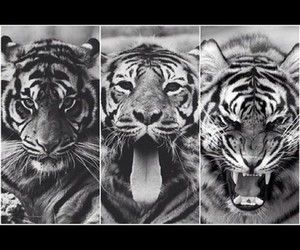 tiger, animal, and black and white image