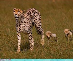 africa, cheetah, and cubs image
