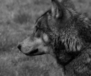 black and white and wolf image
