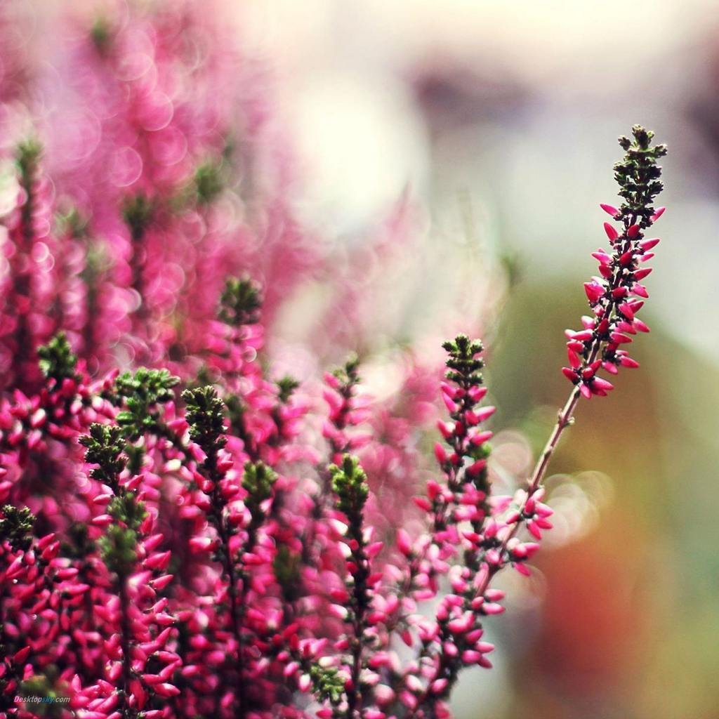 Beautiful Heather Flower Shared By Midnight Blue Wings
