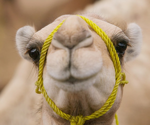animals, camels, and random image