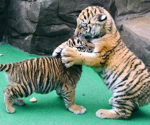 tiger, baby, and cute image