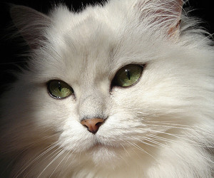 cat, white, and purrfect image