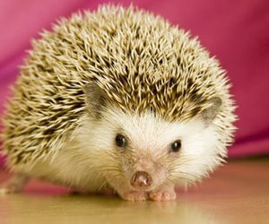 hedgehog and animal image