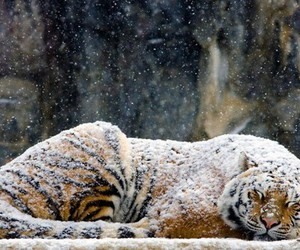 animal, tiger, and winter image