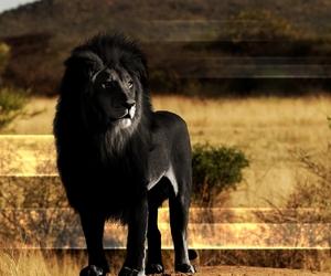rare and black lion image
