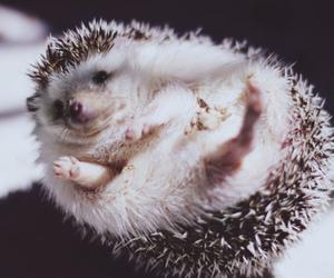 animal, hedgehog, and pet image