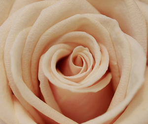 amazing, beautiul, and rose image