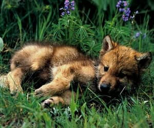 wolf, cute, and dog image
