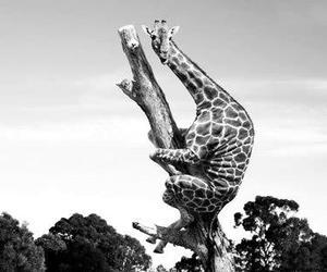 giraffe, funny, and animal image