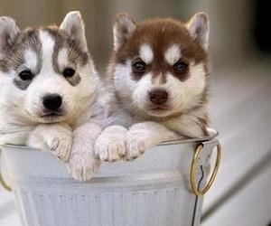 dog, puppy, and husky image