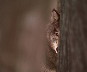 wolf, animal, and tree image